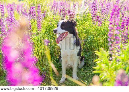 Outdoor Portrait Of Cute Smiling Puppy Border Collie Sitting On Grass Violet Flower Background. Litt