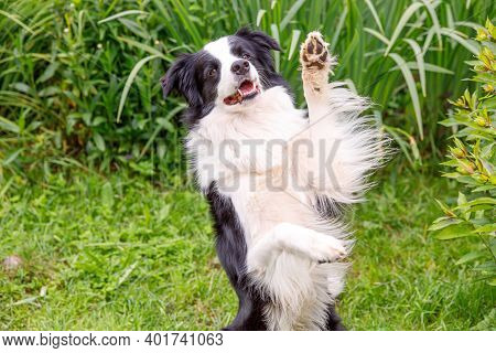 Outdoor Portrait Of Cute Smiling Puppy Border Collie Sitting On Grass Park Background. Little Dog Wi