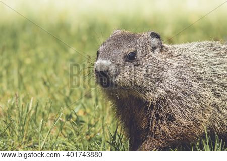 Young Groundhog Closeup, Marmota Monax, Walking In Grass In Springtime