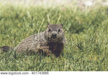 Young Groundhog Kit, Marmota Monax, Walking In Grass In Springtime
