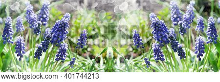 Unfocused, Widescreen Green Background With Blooming Blue Muscari. Selective Focus