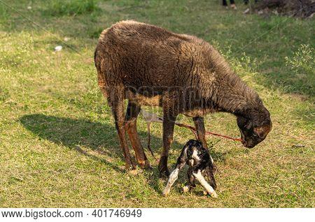 Hampi, Karnataka, India - November 4, 2013: Royal Enclosure. Closeup Of Brown Goat That Just Gave Bi