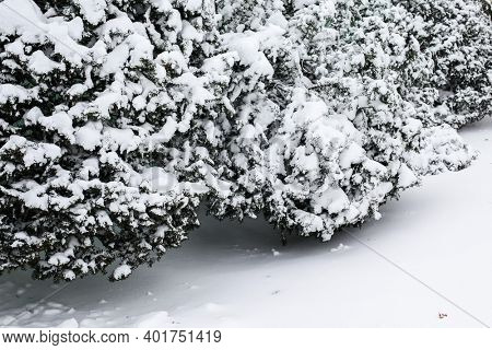 Bush and plants covered with fresh snow in winter