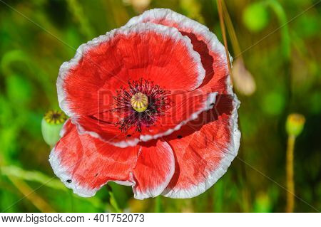 Red And White Icelandic Paper Poppy Flower In Grassland With Shallow Depth Of Field Background.