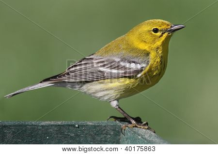 Pine Warbler (Dendroica Setophaga pinus) on a feeder in early spring poster