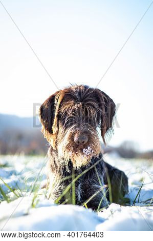 Satisfied, Bohemian Wire-haired Pointing Griffon Rests In The Snowy Landscape, Staring With A Pleadi