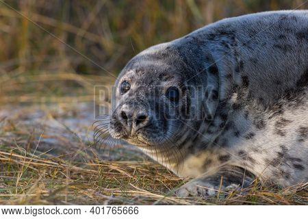 Close-up Young Gray Seal (halichoerus Grypus) In Sandy Grassland