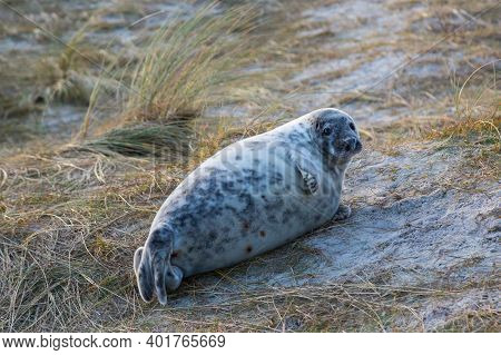 One Young Gray Seal (halichoerus Grypus) Lying In Sandy Grassland