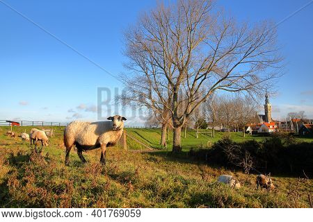 Sheep Grazing On A Meadow In The Colorful Countryside Surrounding Veere, Zeeland, Netherlands,  With