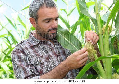 Farmer looking at sweetcorn in a field