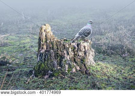 An Old Tree Stump Of An Acer In A Foggy Landscape. Pigeon Is Resting On The Remaining Stump.