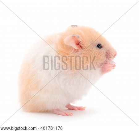 Small White Hamster Isolated On White Background.