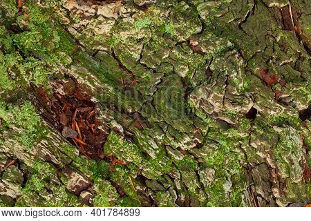 Old Tree Bark Texture With Green Litchen Moss. Natural Wood Pattern