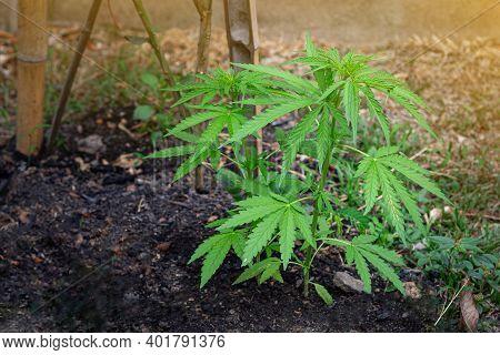 Cannabis Plant Growing At Outdoors Marijuana Farm. The Texture Of Marijuana Leaves. Close-up Photo W