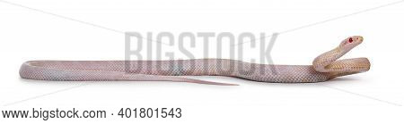 Young Lavender Butter Cornsnake Aka Elaphe Guttatus Or Pantherophis Guttatus Snake, Isolated On Whit
