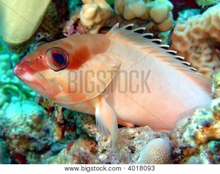Balcktip Grouper
