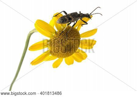 The Woodcutter Barbel Beetle, Cerambycidae, Climbs The Inflorescence Of A Yellow Daisy.