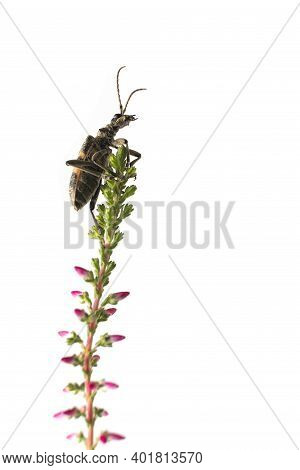 Beetle, Barbel, Woodcutter, Cerambycidae Climbs On A Blade Of Grass Blooming Heather, Isolated On A