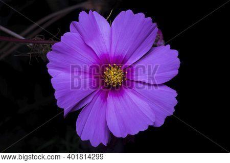 Purple Flower Of Cosmea Bipinnatus, Cosmos Bipinnatus, Night Composition In The Garden On A Black Ba