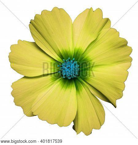 Yellow Flower Of Cosmea Bipinnatus, Cosmos Bipinnatus, Isolated On A White Background