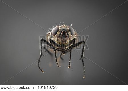 Common Housefly, Annoying Harmful Insect On A Gray Background In High Resolution. House Grey Fly, A