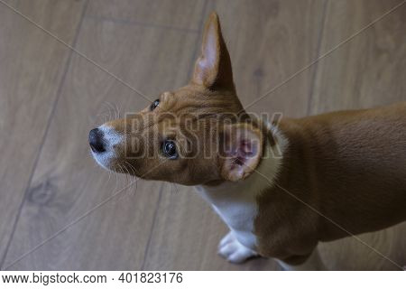 Basenji, A Small Beautiful Pet On A Wooden Floor Background. A Rare Breed Of Dog, African Hunting Do