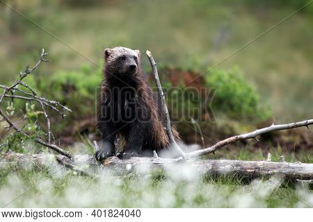The Wolverine (gulo Gulo) In The Grass. Skunk Bear Stands On A Dry Trunk In The Finnish Taiga. The B