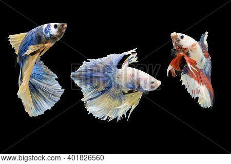 Three Betta Fish, Siamese Fighting Fish Isolated On Black Background Beautiful Movement Macro Photo