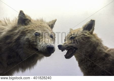 Two Ferocious Predators, A Wolf And A Jackal Stand Next To Each Other With An Evil Grin And Prepare