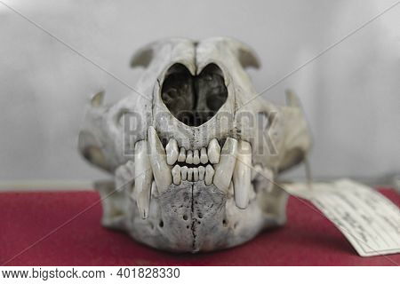 The Skull Of An Ancient Wild Animal Lies On Red Velvet, The Skull Of A Predatory Animal, The Head Of