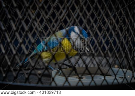 A Blue Tit In A Cage, A Bird In Captivity As In A Prison. Portrait Of A Beautiful Tit Close-up Behin