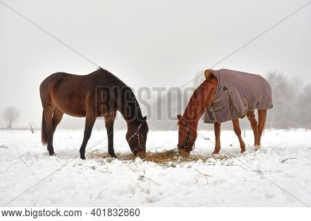 De Horses Eat Hay Dug Out From Under The Snow, Portrait Of Two Horses On A Winter Morning In The Fog