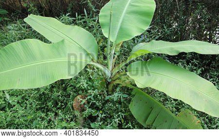 Banana Tree With Many Banana Leaf On The Ground. Small Banana Tree And Many Fresh Leaf.