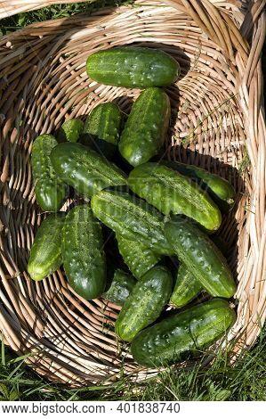Gherkin Or Pickle, Cucumis Sativus, Vegetable Garden In Normandy