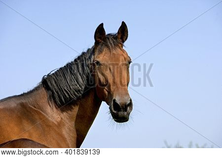 French Trotter, Portrait Of Mare, Normandy French Trotter, Portrait Of Mare, Normandy