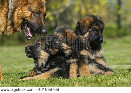 German Shepherd Dog, Female With Pups German Shepherd Dog, Female With Pups