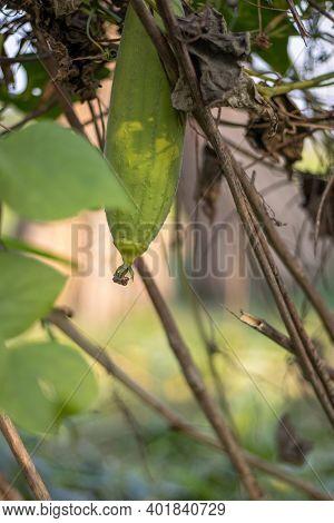 Luffa Aegyptiaca Or Dhundal Growing In The Loft Close Up Shot