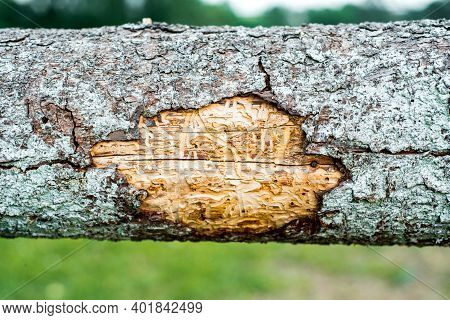 Forest Pests, Diseased Tree. Macro Texture.spruce Pine Tree Bark Beetle Tunnels Infection Bark Close