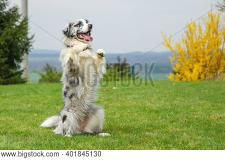 A Cute Australian Shepherd Is Sitting On His Hind Legs And Looking Cute And Funny. He Looks Happy An