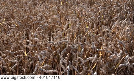 Ripe Ears Of Golden Wheat Tangled By Wind On Field. Agricultural Wheat Grain Texture. Background Of
