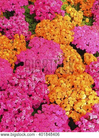Pink And Orange Natural Flowers Background. Floral Background With Intense Fuchsia And Orange Color.