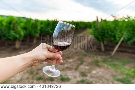 Red Wine Swiveling In A Glass. Shrubs Grapes Before Harvest. Hand Holding Glass Of Red Wine Against