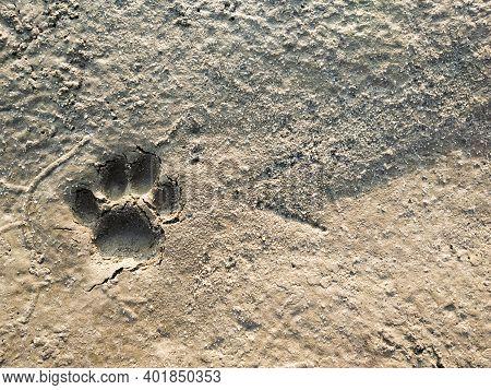 Tiger Paw Or Tiger Paw Footprint Or Animal Footprints On Beach Soil. Fresh Footprints Of Animal On