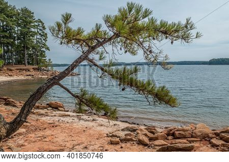 Drought Conditions Causing A Rocky Shoreline With A Pine Tree Hanging On The Eroded Shoreline Ready