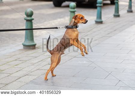 Cute Dog Who Is Leashed Roadside Stands Up