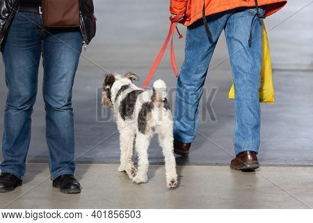 Woman With A Fox Terrier At The Leash