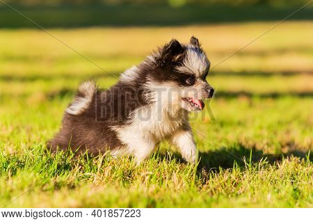 Cute Elo Puppy Runs Over The Meadow