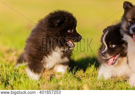 Elo Puppies Play On A Meadow