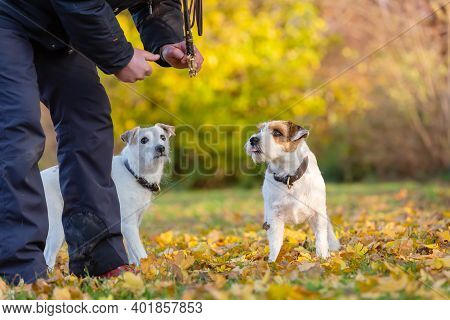 Man With Two Parson Russell Terrier Outdoor In Autumn