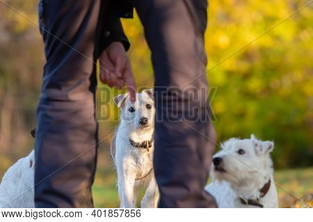 Man Gives A Command To His Parson Russell Terrier Dogs